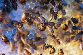 Дикие и домашние пчёлы. Мёд. Пчелинные соты. Улей. Насекомые. Членистоногие. Зоология. Коллективные животные. Фото. Картинки. Изображения. Рисунки. Фотографии. Текст.  Bees. Honeycomb. Honey. Beehive. Insecta. Insects. Photo. Zoology. Collective animals. Species animals. Pictures. Text.