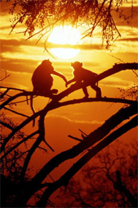 Обезьяны в лесу. Приматы, человекообразные обезьяны. Дикие животные. Вид, род, семейство, отряд животных. Природа. Фото. Картинки. Изображения. Рисунки. Фотографии. Текст. Text. Wood. Primates. Species animals. Monkeys. Ape. Wild animals. Pictures. Wild nature. Photo.