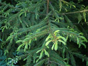 Лес. Природа. Картины природы. Фото. Картинки. Рисунки. Фотографии. Picea. Forest. Wild nature. Pictures of nature. Photo.