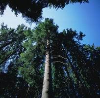 Сосны. Деревья. Лес. Растения. Ботаника. Фото. Картинки. Изображения. Рисунки. Фотографии. Текст.  Pine. Tree. Forest. Plants. Botany. Photo. Vegetabilia. Pictures. Text.