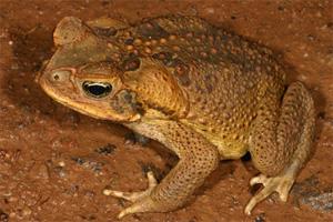 Жаба-ага (Bufo marinus) - живой пример естественного отбора в действии (фото с сайта frogs.org.au)  Toad. Лягушки. Земноводные, амфибии. Зоология. Фото. Дикие животные. Природа. Картинки. Изображения. Рисунки. Фотографии. Текст.  Frogs. Amphibious. Amphibia. Photo. Wild animals. Species animals. Wild nature. Zoo. Pictures. Text.
