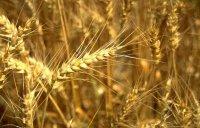 Колосящаяся пшеница. Колоски. Растения. Ботаника. Фото. Картинки. Изображения. Рисунки. Фотографии. Текст.  Wheat. Plants. Botany. Photo. Vegetabilia. Pictures. Text.