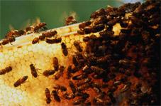 Дикие и домашние пчёлы. Мёд. Пчелинные соты. Улей. Насекомые. Сельскохозяйственные домашние животные.  Сельское хозяйство (С/Х). Фото. Растениеводство. Животноводство. Картинки. Изображения. Рисунки. Фотографии. Текст.  Bees. Honeycomb. Honey. Beehive. Insecta. Insects. Species animals. Agriculture. Photo. Pictures. Text.