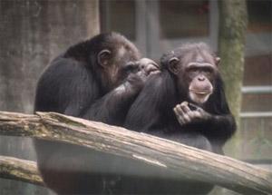 Шимпанзе. Приматы. Человекообразные обезьяны. Зоология. Дикие животные. Природа. Фото. Картинки. Изображения. Рисунки. Фотографии. Текст.  (фото с сайта www.chimpanzoo.org)  Chimpanzee. Photo. Primates. Monkeys. Ape. Zoology. Species animals. Wild animals. Zoo. Pictures. Wild nature. Text.